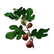 drzewpo figowe